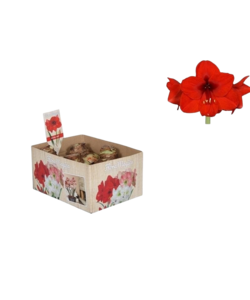 Amaryllis (Trockenbirne 32 cm) Rot