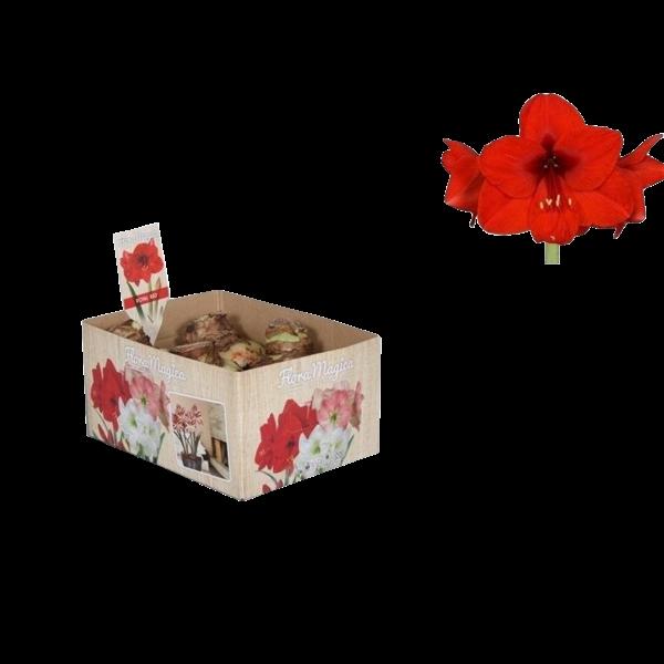 Bollen Amaryllis (Trockenbirne 32 cm) Rot