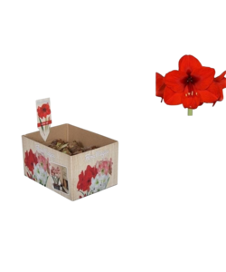 Amaryllis (Trockenbirne 28/30 cm) Rot