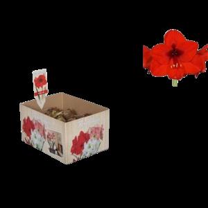 Bollen Amaryllis (dry bulb 28/30 cm) Red