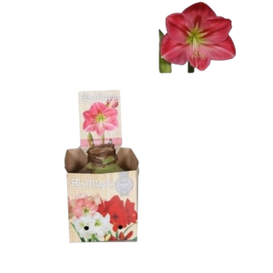 Bollen Amaryllis (dry bulb 32 cm) Pink