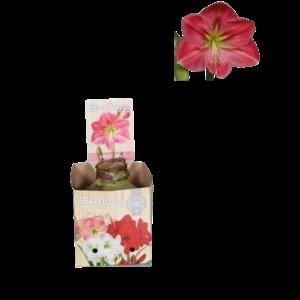 Bollen Amaryllis (Trockenbirne 32 cm) Pink