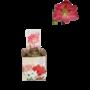 Bollen Amaryllis (droge bol 32 cm) Roze