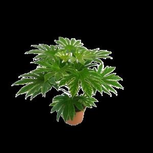 Fatsia Spiderweb Zimmerpflanze
