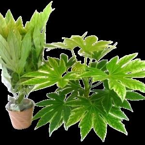 Fatsia Spinnennetz - Gartenpflanze
