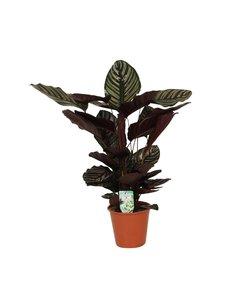 Ornata Sanderiana - pot 19 cm