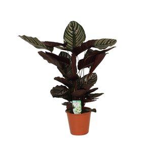 Calathea Ornata Sanderiana - Topf 19 cm