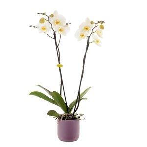 Phalaenopsis 2 takken