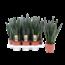 Sansevieria Black Coral