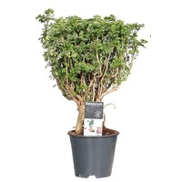 Polyscias Hawaiiana Ming Gold Bonsai
