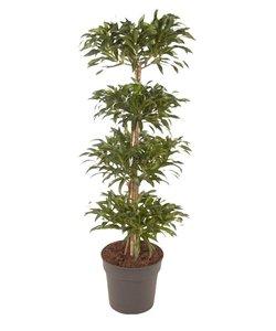 song of jamaica - Dragon tree, Century plant