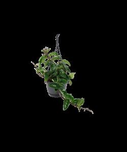 Krinkle 8 - Porcelain Flower, Wax Flower