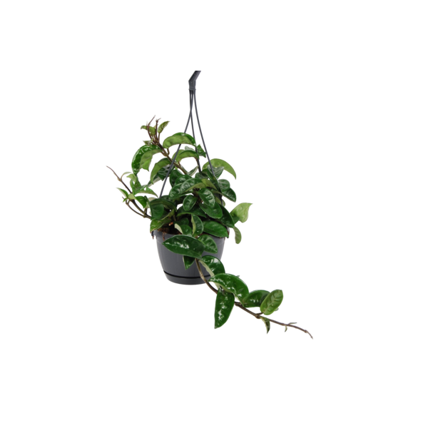 Hoya Krinkle 8
