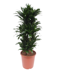 Compact, branched - Dragon tree, Century plant