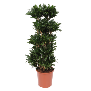 Dracaena Compact, branched