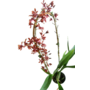 Orchideeën Oncidium Cherry Baby