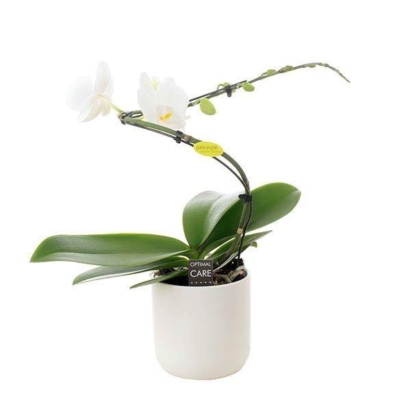 Phalaenopsis 1 branch balletto white