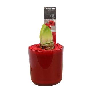 Amaryllis Bouton rouge 2 Claudia CHRISTMAS