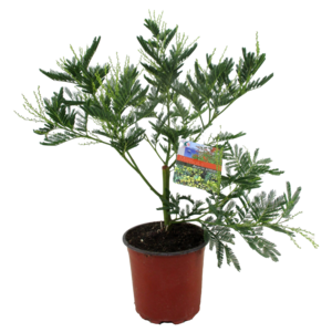 Mimosa Acacia dealbata