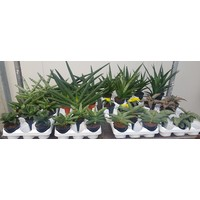 Sansevieria Cylindrica - mixed