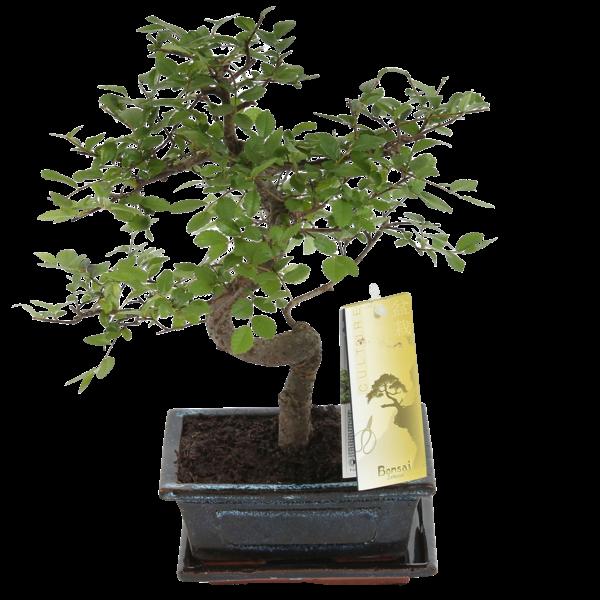 Bonsai Zelkova S-forme 15 cm