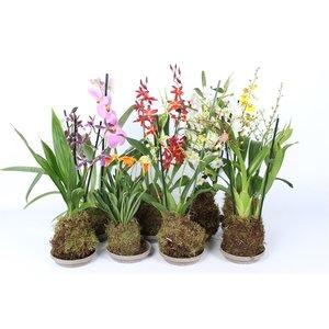 Orchideeën Mischwald Kunst