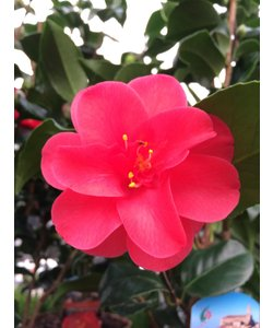 Japonica, a winter bloomer!