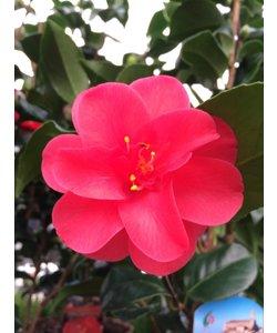 Japonica, une floraison d'hiver!