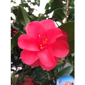 Camellia Japonica, a winter bloomer!