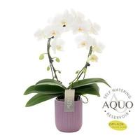 Phalaenopsis Spiegelwunder weiß