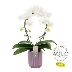 Phalaenopsis Miroir miracle blanc