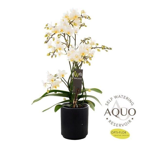 Phalaenopsis Willd white 12cm