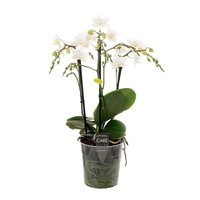Phalaenopsis Dicaprion