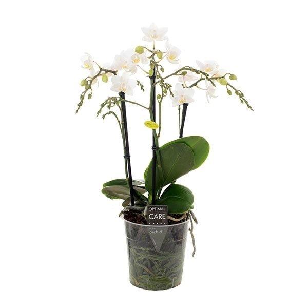 Phalaenopsis Dicaprion