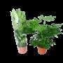 Fatsia Japonica - kamerplant
