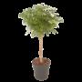 Schefflera Arboricola Luseana