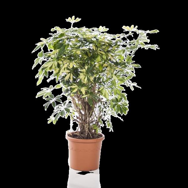 Schefflera Arboricola Trinette