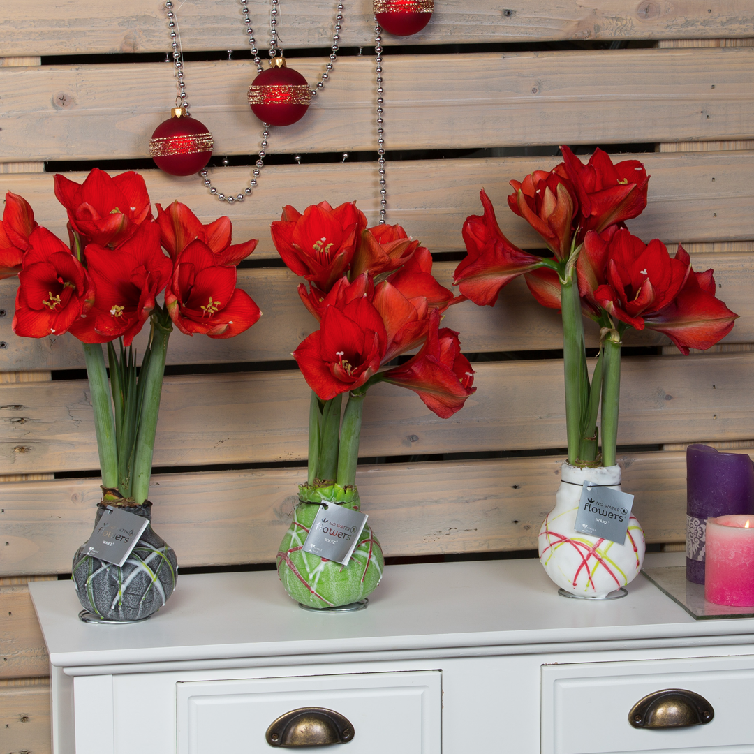 No water flowers® amaryllis wax houseplant of the month december