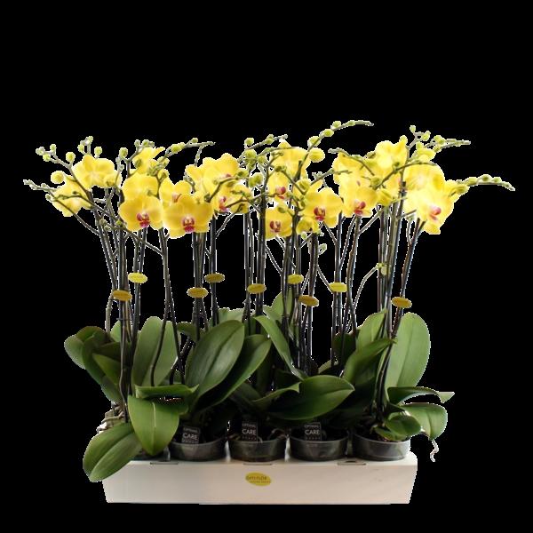 Phalaenopsis 2 Zweig gelb