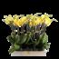 Phalaenopsis 2 tak geel