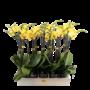Phalaenopsis 2 branch yellow