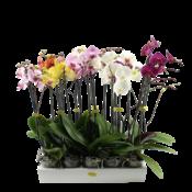 Phalaenopsis 3 Zweige gemischt