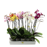 Phalaenopsis 3 branch mixed