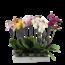 Phalaenopsis 3 tak gemengd