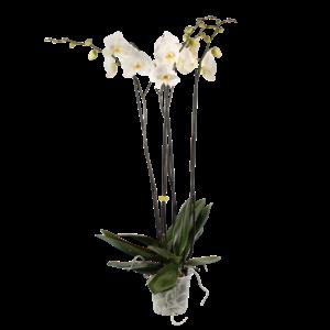 Phalaenopsis 4 branches fortuno 100 cm non ramifiées