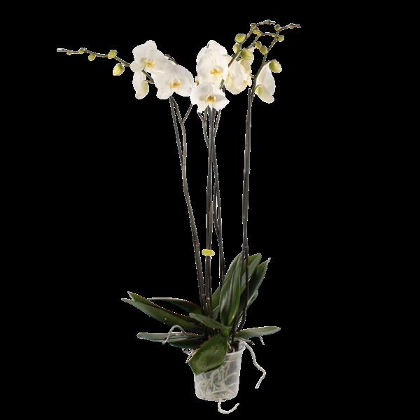 Phalaenopsis 4 tak fortuno, een mooie zware plant.