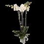 Phalaenopsis 4 Zweig fortuno, eine schöne schwere Pflanze.