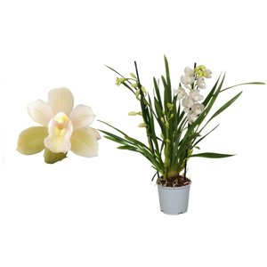 Cymbidium Ice dance