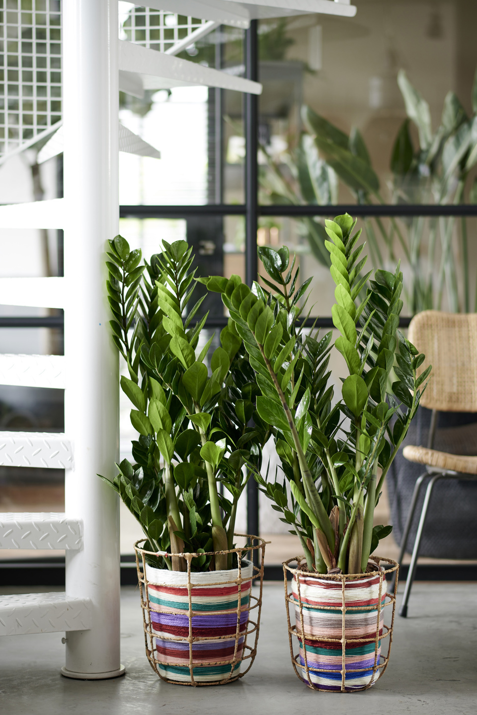 Zamioculcas: houseplant of the month of january 2020