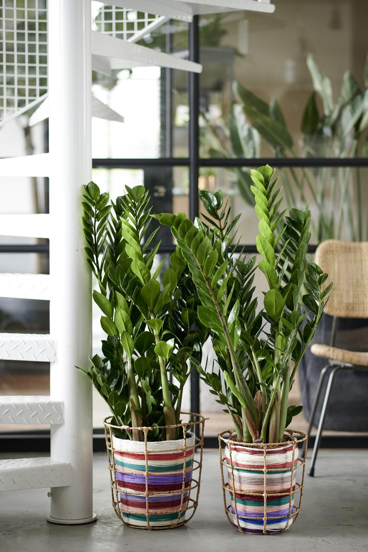 Zamioculcas: zimmerpflanze des monats januar 2020